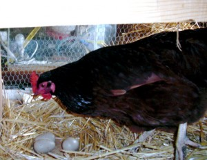 Our girls already love nesting on wooden eggs