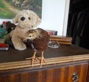 Chick takes to the dresser