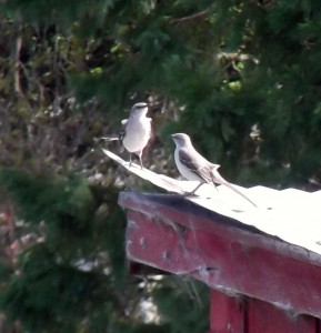 Mockingbird couple on 1900's shed